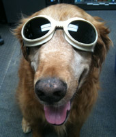 Safety first! This pup is ready for his laser therapy.